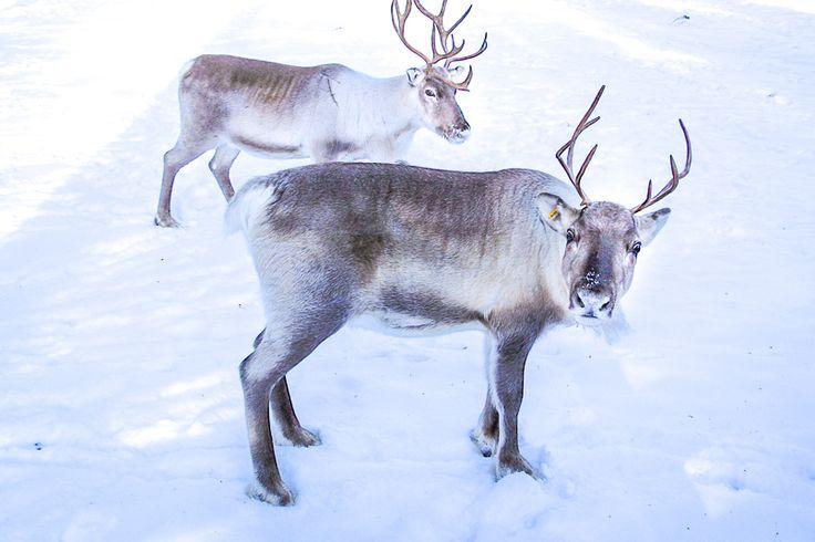 Voyage en Laponie : mes coups de coeur pour un séjour pas cher en hiver en famille (de noël à mars) - VOYAGE FAMILY