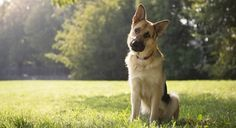 Thinking of adopting a German Shepherd? They're amazing dogs - but watch out, that thick fuzzy coat may soon lay claim to your entire home. If you've come desperately in search for hair shedding solutions, then you've come to the right place...I'm a full time dog groomer, and I've owned my fair share of double-coated …