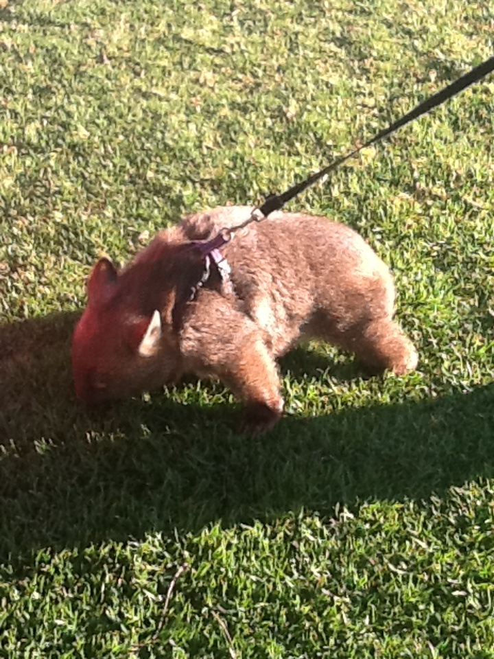 Scarlett the Wombat from the Hunter Valley Zoo getting into mischeif