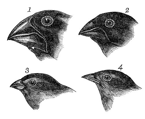 Sketches of Finches by Charles Darwin