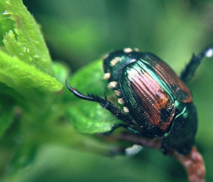how to kill japanese beetles on plants