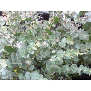 Image Result For Eucalyptus Garden Wilmington Nc Small 400 x 300