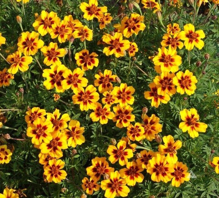 Benih marigold dainty 10rb isi 20 benih sms / wa 085777119992 line id : silkynazma