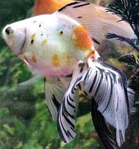 What beautiful fins you have Mr. Veiltail Goldfish