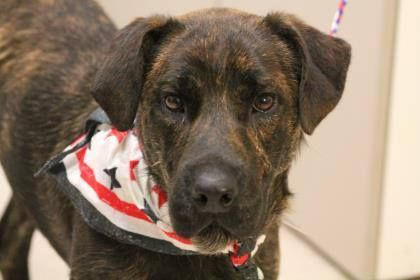 NAME: Parker ANIMAL ID: 28669302 BREED: bull dog shar pei mix SEX: male EST. AGE: 1 yr Est Weight: 48 lbs Health: heartworm neg Temperament: dog friendly, people friendly ADDITIONAL INFO: RESCUE PULL FEE:$49 Intake date: 7/22 Available:now
