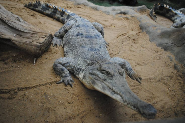 Slender-snouted Crocodile (Mecistops cataphractus) - [Colchester Zoo]