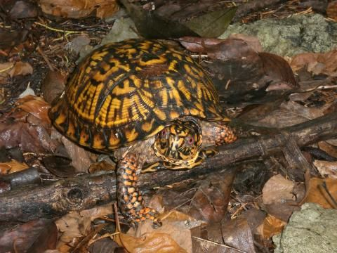 Turtles are aquatic or terrestrial reptiles that have horny toothless jaws and a bony or leathery shell into which the head, limbs, and tail can be withdrawn in most species. They have dry scaly skin and enjoy basking in the sun. All species of turtles lay eggs.