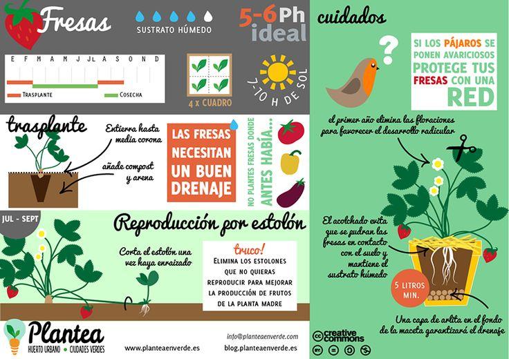 Infografía de cómo cultivar fresas en casa