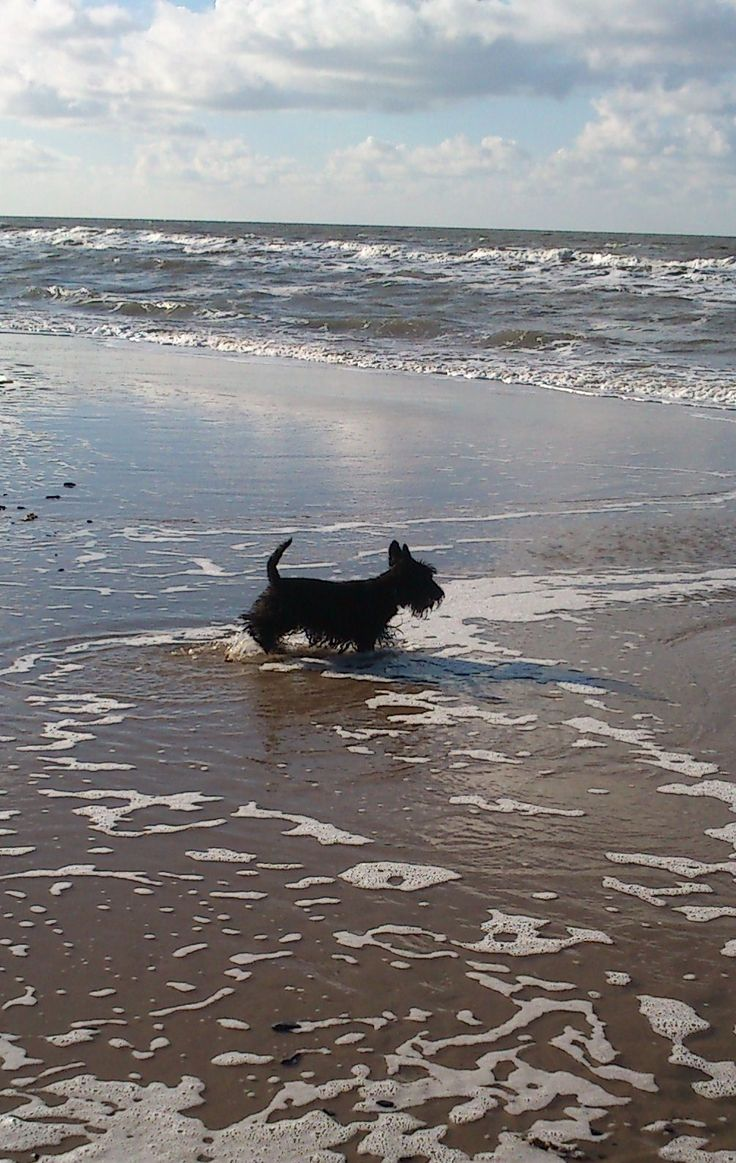 scottie at the beach
