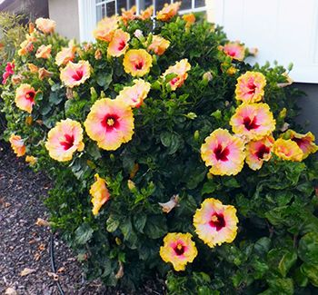 How to Grow Hibiscus2