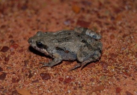 Eastern sign-bearing froglet