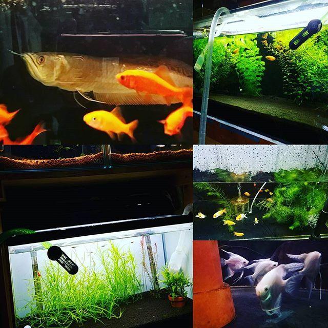 【katsuya0507】さんのInstagramをピンしています。 《水槽の水換えをしました(^^; 全部で約1トンくらい水を換えするので時間を要します(--;) #シルバーアロワナ #水槽 #アクアリウム #熱帯魚 #金魚 #メダカ #水草 #大型魚 #小型美魚 #観賞魚 #水換え》