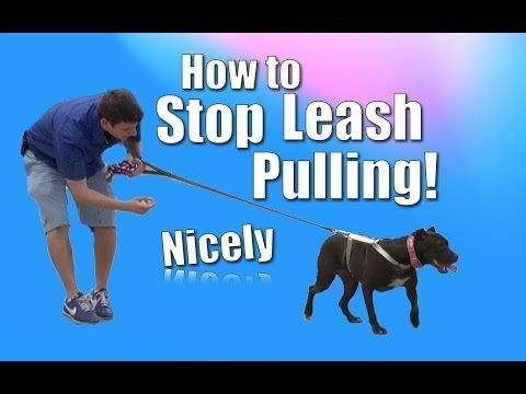 ▶ How to Train Your Dog to NOT PULL on the Leash (Chloe the pit bull) - YouTube
