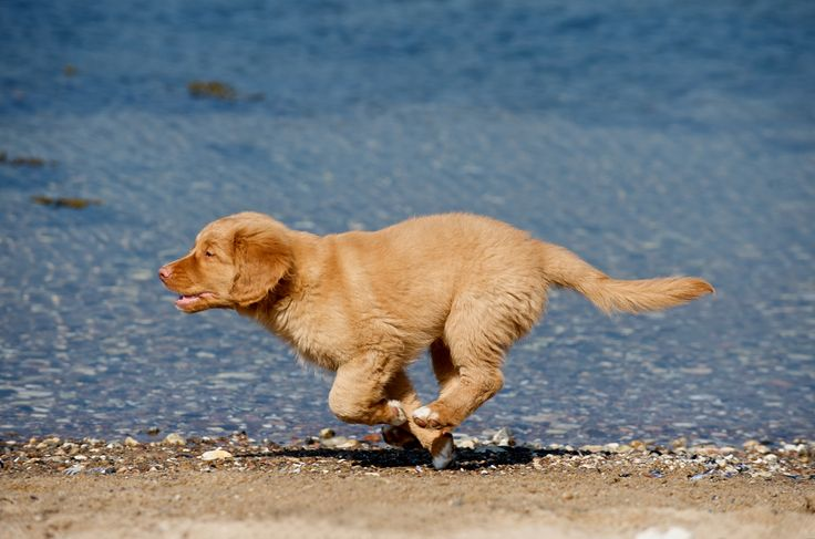Photographer Pernille Westh | Nova Scotia Duck Tolling Retriever (also know as Toller) pup running · Do you love to photograph dogs? Get my 5 FREE basic dog photography tips; http://pw5383.wixsite.com/photographytipsdogs