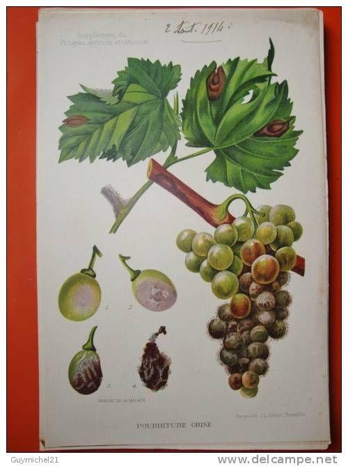 RARE PLANCHE CHROMO FIN XIX A DEBUT XX 15 X 24 CM. BOTANIQUE HERBIER vigne raisin maladie insecte papillon cepage .... - Delcampe.net