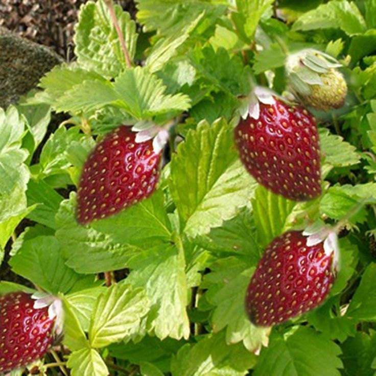 Growing and Propagating Strawberries