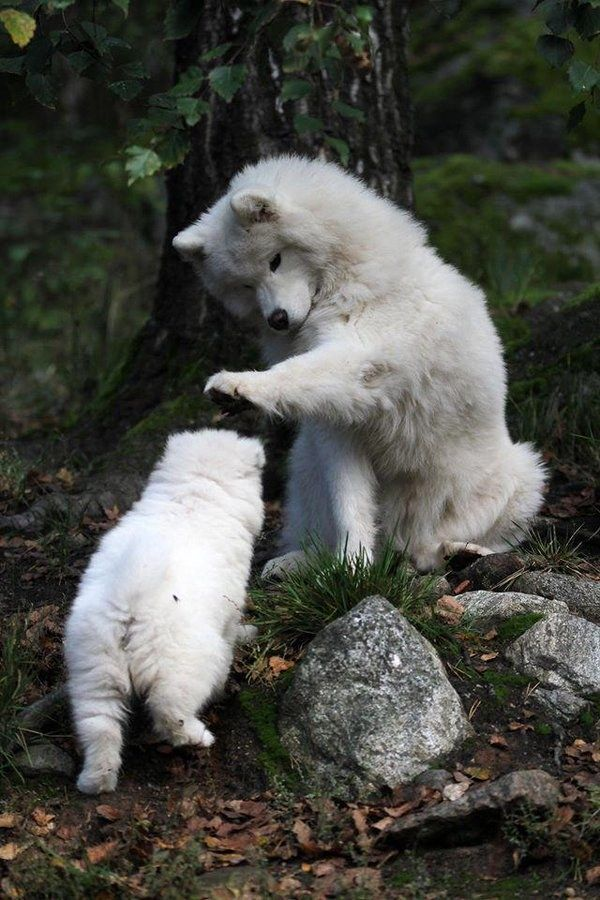 And this Samoyed is showing his support by petting his son after a job well done.