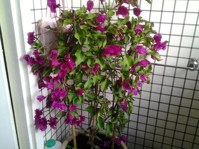 How to Grow Bougainvillea: 9 Steps (with Pictures) - wikiHow.com