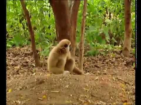 En legesyg abe har lært en masse ved ved en farlig leg :)