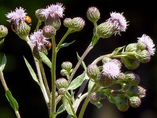 Pelto-ohdake, Cirsium arvense
