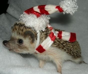 338 Best Hedgehogs Images On Pinterest Hedgehogs Baby