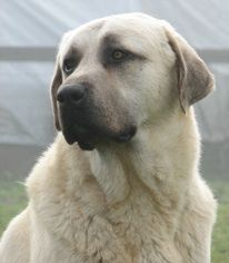"Anatolian Shepherd Dog is a working guard dog with superior ability to protect livestock.  The Anatolian's loyalty, independence & hardiness is sought by breeders & owners. The breed's coat can be short (1"") or rough (approx. 4"") with all color patterns & markings. They are instinctively protective & calm around strangers, showing a loving nature only to his family. They enjoy children but should be supervised in case he interprets rough play as a need to guard ""his"" child.   Because he was…"