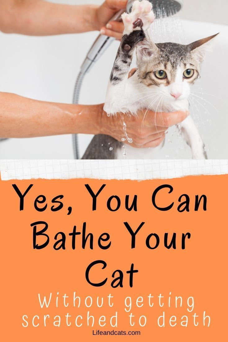 How To Bathe Your Cat Without Getting Scratched To Bits Life Cats In 2020 Cats Cat Bath Cat Parenting
