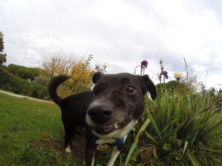 Brando #dogsitting #roma #gopro #goprodog