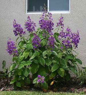 tibouchina plant | Silver Leafed Princess Flower or Large Leaf Princess Flower