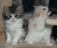 ragamuffin kitten for adoption running bear