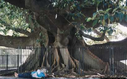 A huge Rubber tree can be seen in Plaza Francia close to La Recoleta Cemetery. It is one of the largest Rubber trees in the world. #Nelmitravel #RubberTree #BuenosAires #travel #Argentina #nature #LaRecoleta