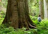 Giant cedars. Revelstoke BC