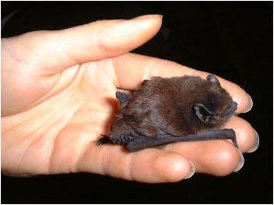 batBats Species, Animal Visitor, Bats Caves, Things Bats, Bats Night, Beautifulkawaii Stuff, Babby Bats, Tiny Bats, Adorable Animal