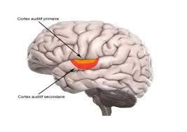 Résultats de recherche d'images pour «cerveau musical aires»
