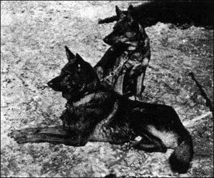 Horand, the first German Shepherd Dog, by Capt von Stephanitz