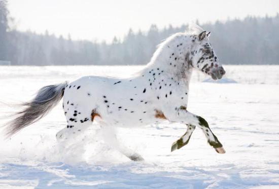 Аппалуза-лошадь