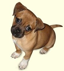 """Jug puppy - jack russell + pug.  Didn't know about that """"designer breed""""!"""