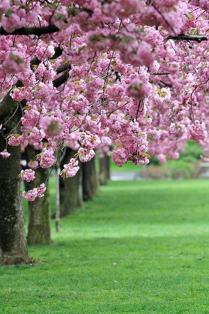 76 Best Best Sakura Images In The World Images On Pinterest Cherry Blossoms Cherry Blossom