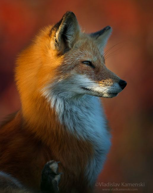 Autumn wild beauty 365 days fox marathon Day 206 #365daysfoxmarathon #photography #redfox
