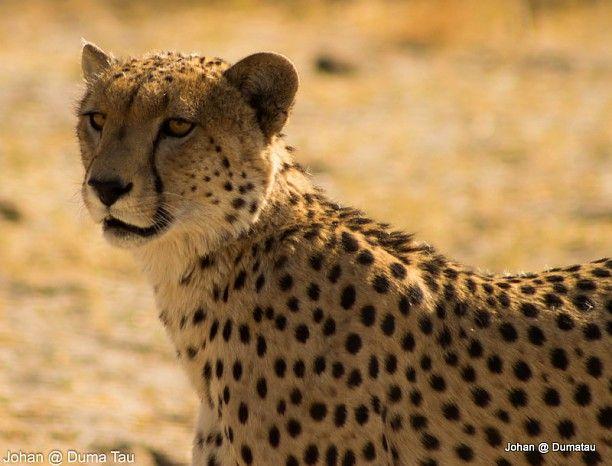 Cheetah at DumaTau #Linyanti #Botswana #safari