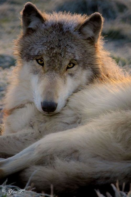 Wolf stare. What an awesome picture! Beautiful