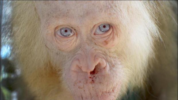 Nach der Entdeckung eines Orang-Utans mit weißem Fell und blauen Augen in Indonesienhaben Tierschützer die Öffentlichkeit aufgerufen, einen Namen für den geretteten Menschenaffen zu bestimmen. Albino-Orang-Utan nach seiner Befreiung