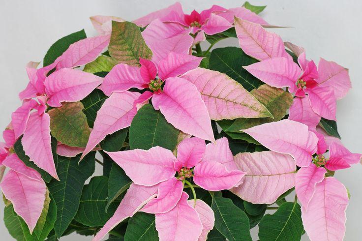 Weihnachtsstern Princettia Pink