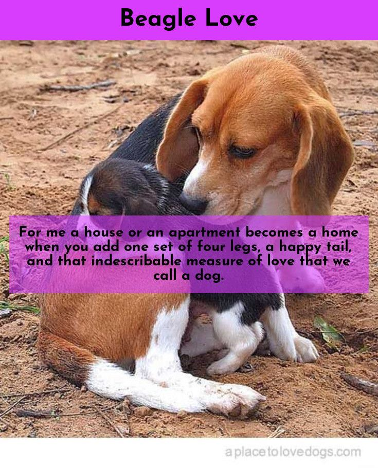 7 Best Dogs Breeds For People Allergies Beagle Dogs Best Dog