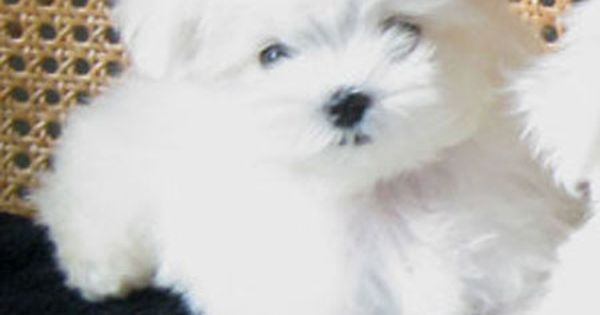 Dogspuppiesforsalecom liked | 13 WEEKS TEACUP MALTESE PUPPY FROM LACHICPATTE.COM #teacupdogslist #teacupdogs Getting a dog or a puppy as a new addition to your family is an excellent decision! You're adding another member that can provide lots of love and enjoyment! This is a relationship you'd want to make sure that you're doing right the first time around. You'll need to find out what makes your dog happy what are the things to look out for and basically how to give them a long and…