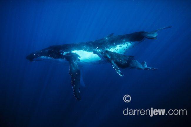 Southern humpback whale and calf, Tonga