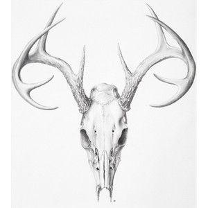 Deer Skull - Illustration@Science-Art.Com