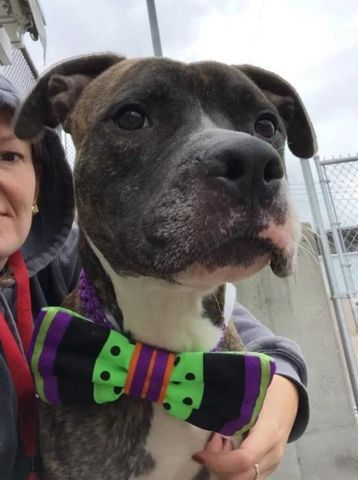 Brooklyn Center ENOCH – A1093330 MALE, BR BRINDLE / BLACK, AM PIT BULL TER MIX, 3 yrs OWNER SUR – EVALUATE, NO HOLD Reason MOVE2PRIVA Intake condition EXAM REQ Intake Date 10/13/2016, From NY 11207, DueOut Date 10/16/2016,