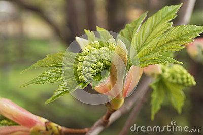 Beautiful opening  bud  in spring time