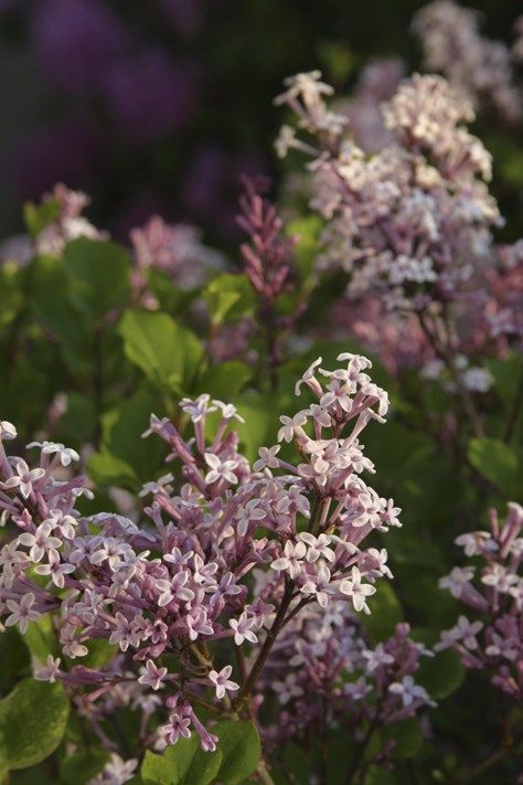Syrener - Common lilac - for butterflies